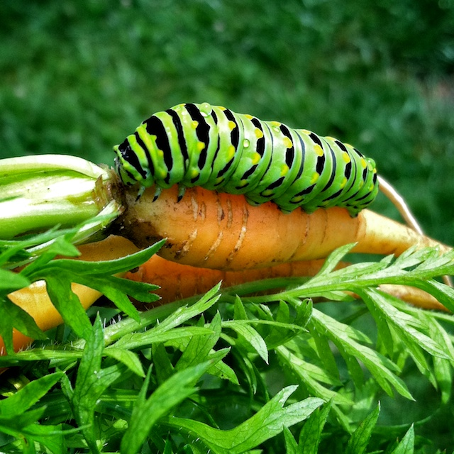 Papilio polyxenes use a variety of herbs in the carrot family (Apiaceae), but will choose the food plants for their larvae based on visual and chemical variations.