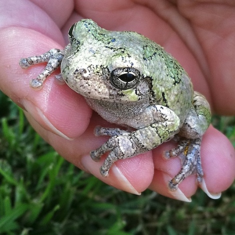 Gray treefrog rescued from the pool. © 2012 EddinsImages